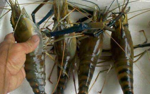 沼虾怎么养殖需要什么条件?