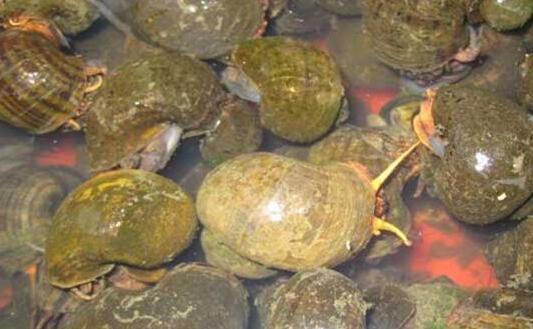 最新的田螺养殖技术常见的有哪些?