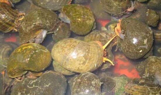 螺蛳养殖亩产量有多少斤一般?