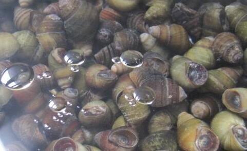 田螺的养殖方法和食物怎么喂?