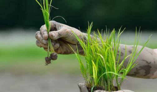 现代水稻种植技术与日常管理方法有哪些?