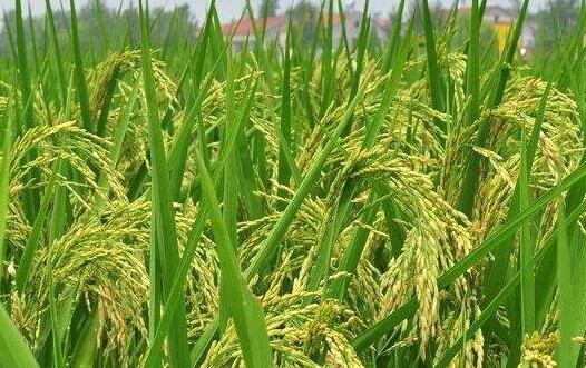 水稻施肥多久后有效?
