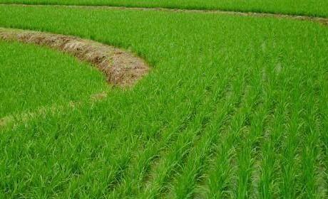 水稻生长周期表一般为几个阶段?