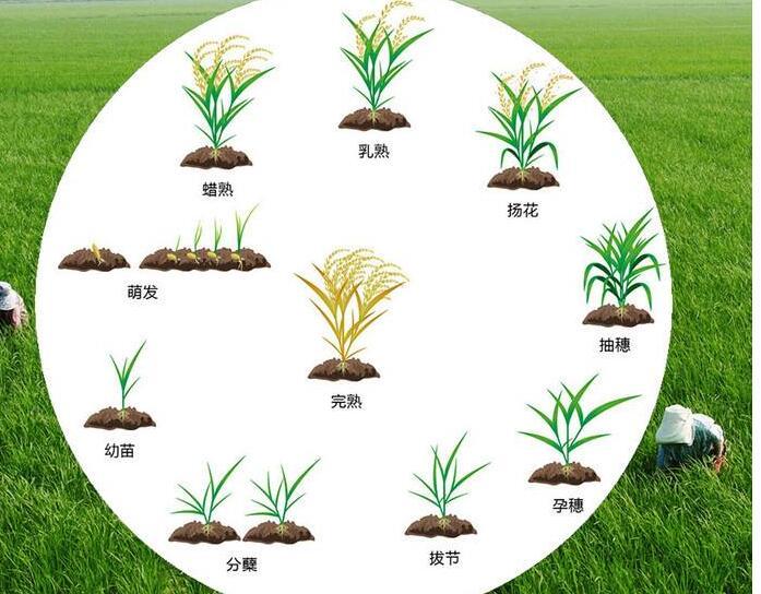 水稻生长过程图片图片