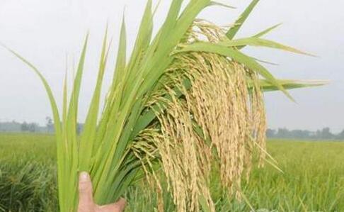 水稻一亩地施尿素多少合适?