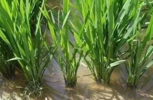 水稻一般几月几号施穗肥好?