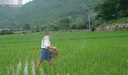 东北水稻施肥方法和用量多少合适?