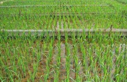 种植水稻一般需要施什么肥?