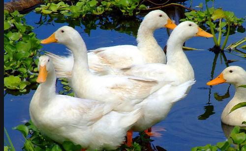 夏季和秋季养鹅技术分别有哪些