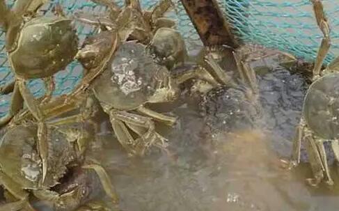 2021螃蟹养殖行情怎么样?