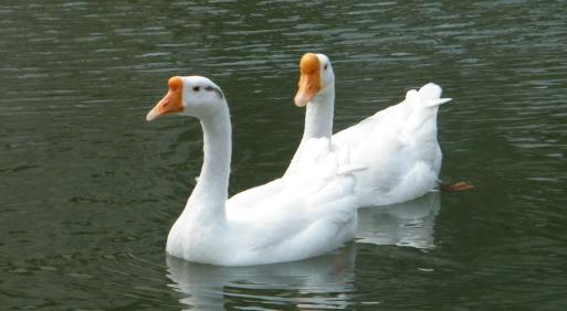 如何提高鹅的养殖效益