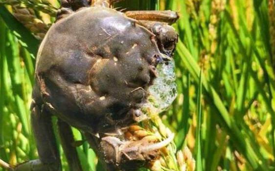 稻田蟹一亩产多少斤蟹?