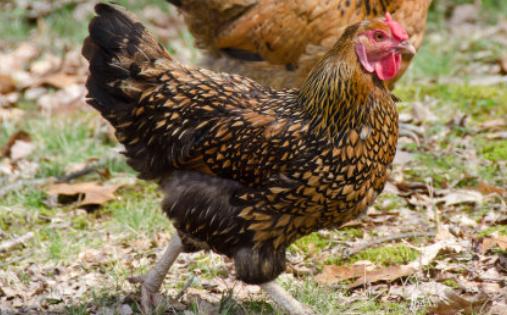 蛋鸡养殖技术分析