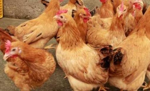 散养土鸡的利润与成本