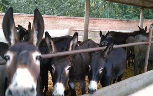现在驴的养殖前景怎么样?