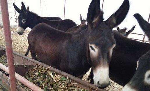 驴是什么繁殖出来的?