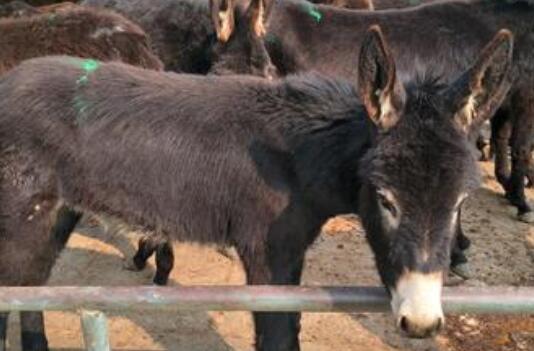 肉驴饲养需要喂什么饲料?