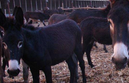 现在肉驴苗价格要多少钱一头?