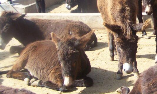 肉驴苗一般要养多长时间能出栏?