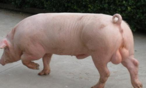 种公猪饲养管理要点