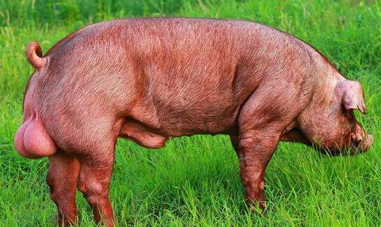 养猪养杜洛克好还是长白猪好?