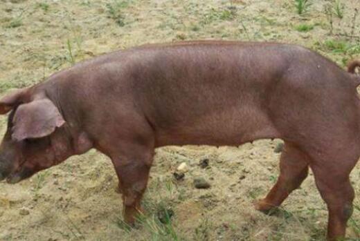 杜洛克猪长得快吗?