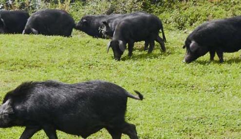 现在养藏香猪需要什么条件?