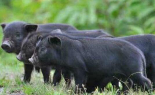 藏香猪适合什么地方养?