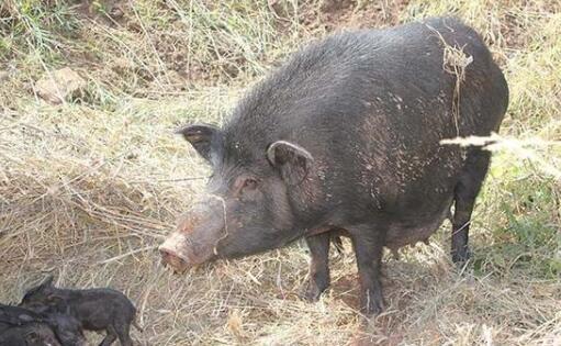 养藏香猪骗局是怎么回事?