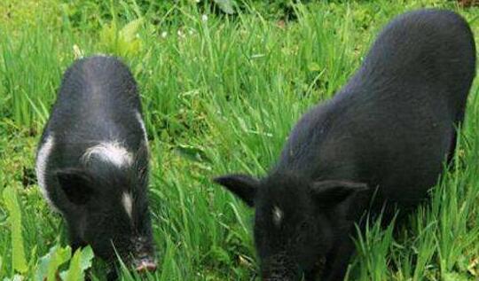 藏香猪要怎么饲养?