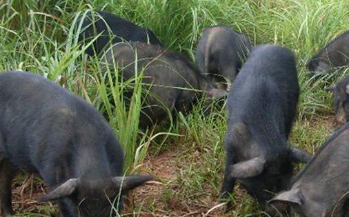 2020市场上藏香猪肉多少一斤?