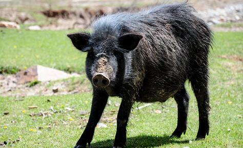 10亩地能放养多少头藏香猪?