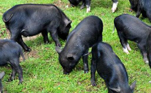 养二十头藏香猪成本利润有多少?