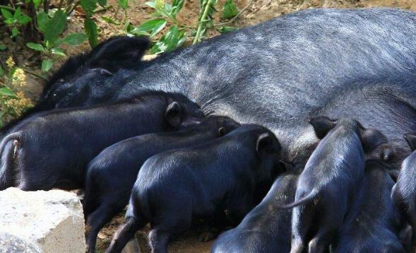 藏香猪要养多久才能繁殖?