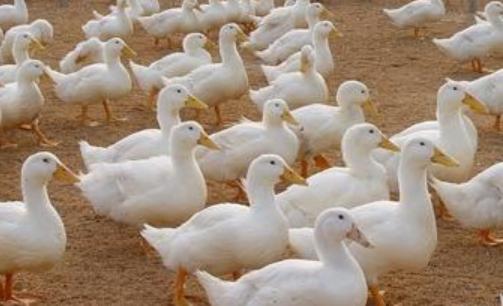肉鸭养殖大棚建设方案有哪些
