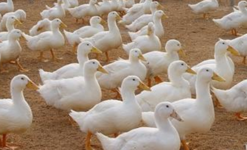 发酵床养鸭技术有哪些