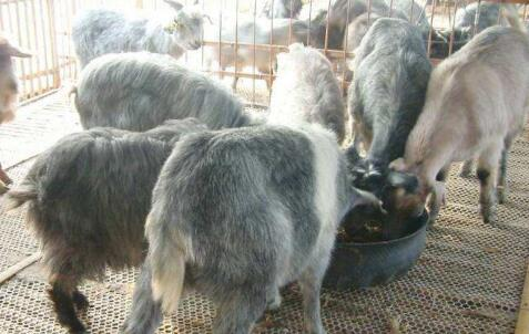 青山羊的优点和缺点有哪些?