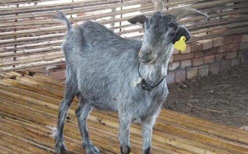 现在青山羊价格多少钱一只?