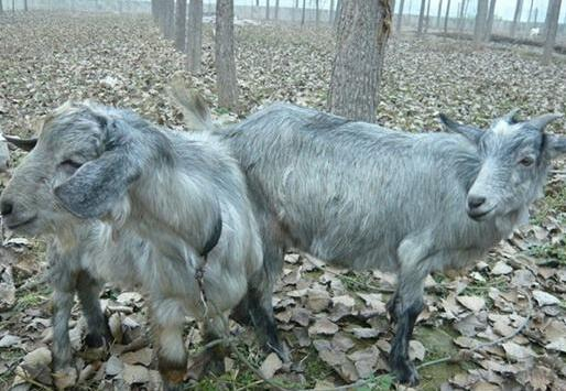 青山羊养殖技术有哪些?
