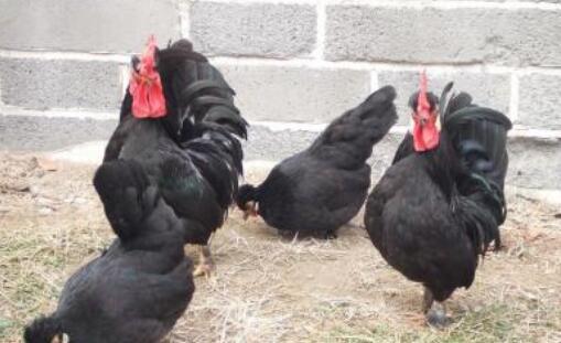 元宝鸡有几个品种?