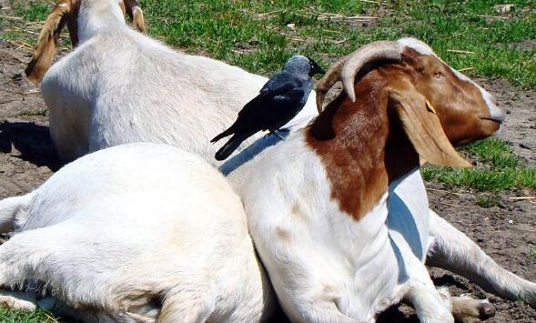 波尔山羊一年一般要下几窝?