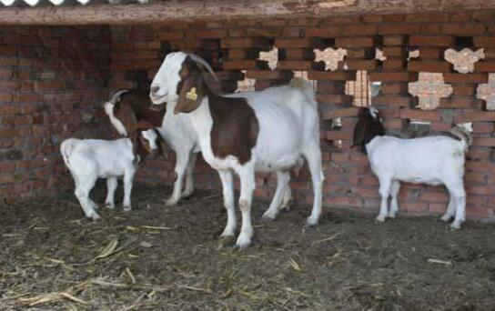 现在波尔山羊种羊多少钱一只?