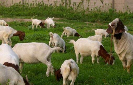 波尔山羊的正确养殖方法有哪些?