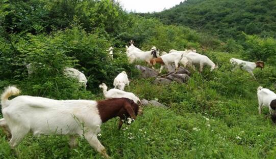 波尔山羊怎么辨别纯种还是杂交?