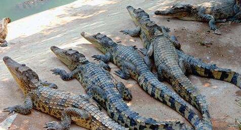 现在鳄鱼养殖加盟一般要多少钱?