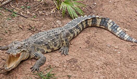 现在鳄鱼养殖销路在哪里?
