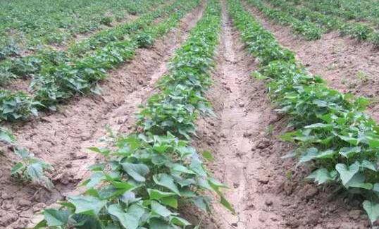 种植20亩红薯利润多少?