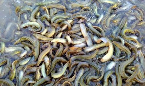 2020泥鳅养殖前景与利润怎么样?