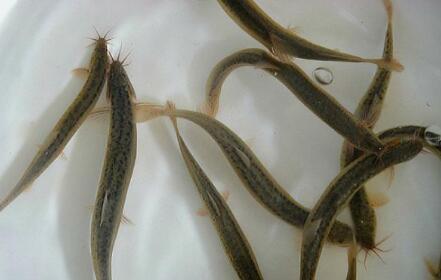 泥鳅养殖一亩可以产多少斤?