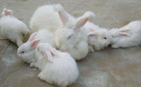 2020年长毛兔养殖前景如何?
